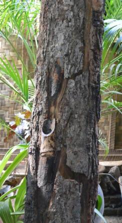 Burmese lacquer tree